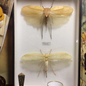 Siliquofera grandis – couple de sauterelle géante dans une boite