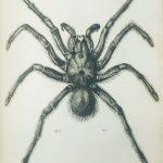 Atlas Du Nouveau Dictionnaire Classique D'histoire Naturelle Araignée