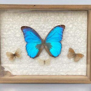 papillons naturalisés pour cabinet de curiosités